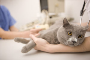 Cat lying down on examining table at veterinarian office, Canon 1Ds mark III